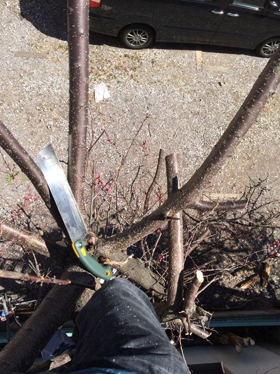 【サクサク切れるノコギリ】ゼットソーのライフソー9寸目は軽く少しのストロークでどんどん枝を落とせます